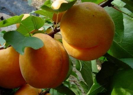Для сердца, мозга… волшебный плод персик