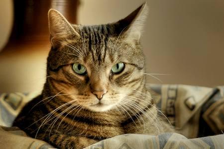 Может ли домашняя кошка заболеть может ли домашняя кошка заболеть