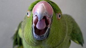 Волнистые попугайчики для ребенка